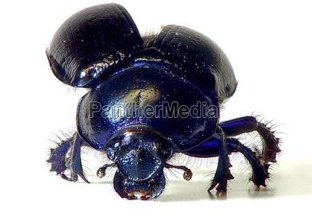 azul peligro primer plano opcional insecto