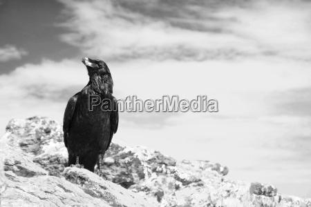 raven sw no 1