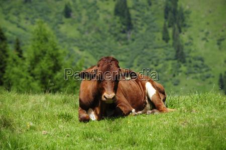 vaca bovino alpe sauce almwirtschaft kuhe