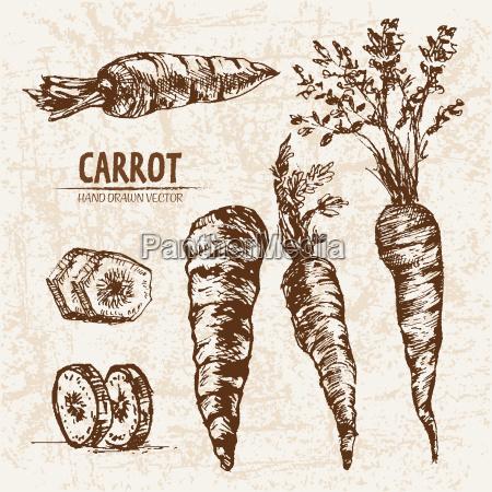 digital vector detailed line art carrot