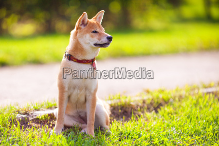 a young shiba inu sits in